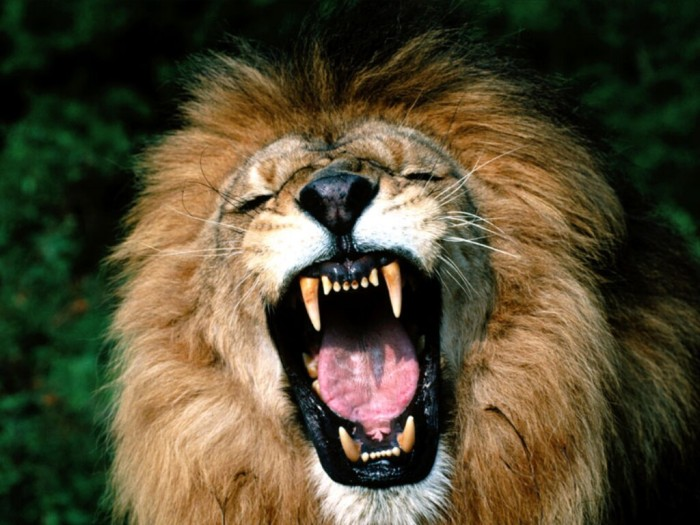 Roaring-African-Lion